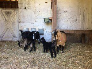 van H acres - Nigerian Dwarf Goats, Satin Rabbits, Organic eggs, Vancouver, Langley, British Columbia, Canada