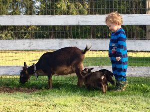 van H acres Nigerian Dwarf Goats Outlaw Acres Blue Taffy and kids