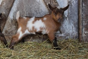 van H acres registered Nigerian Dwarf goats for sale, Langley, BC