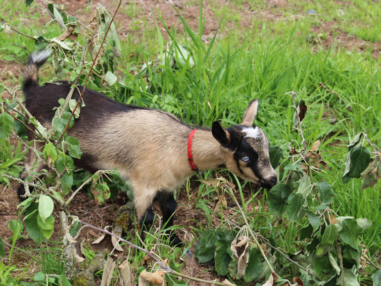 erd Doe: Nigerian Dwarf Goat Happy Hoof Acres Dixie, Langley, British Columbia, Canada