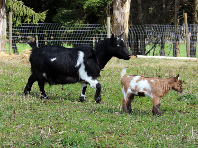 Nigerian Dwarf Herd Doe: Linwood Hailey's Comet with kid, Spring 2018